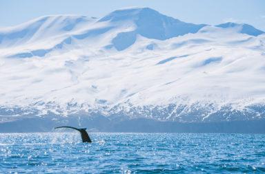 walvis tour IJsland